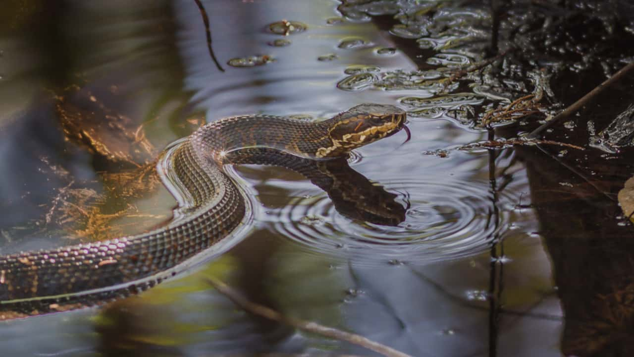 12 Dreaming about Snakes in water – Meaning & Interpretation