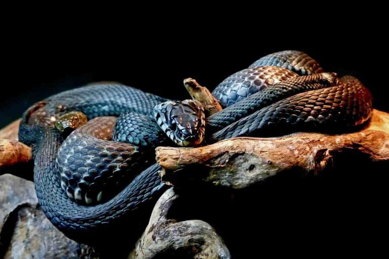 Black Snake Dream
