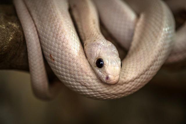 hình ảnh con rắn màu trắng