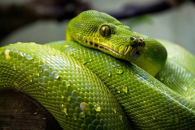 Picture of a Green Color Snake that comes in dream
