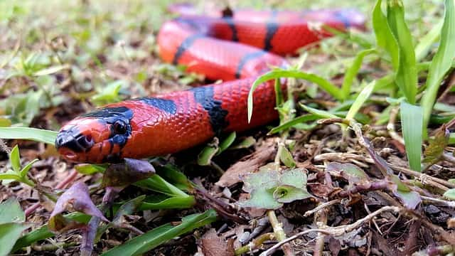 a red snake with black lines