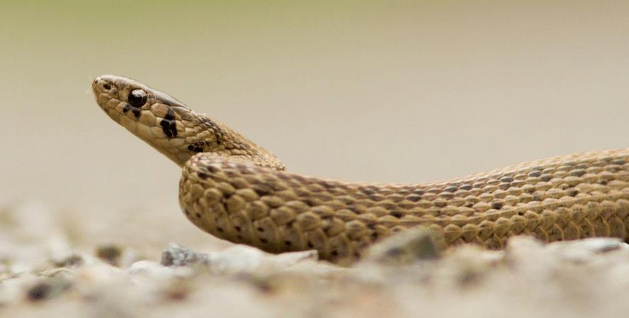 Brown snake dream