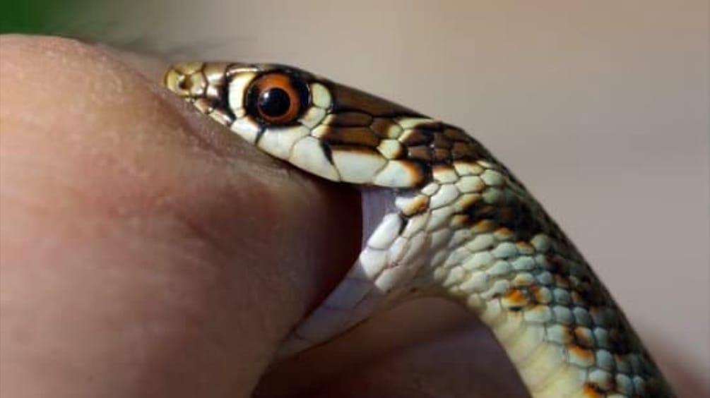 Snake Bite Dream