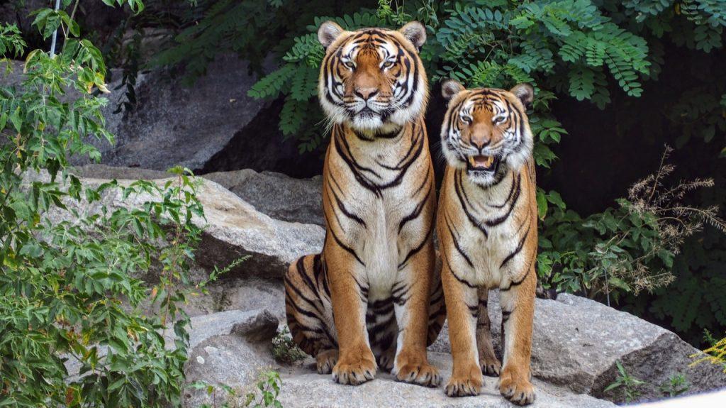 Dream interpretation of a tiger