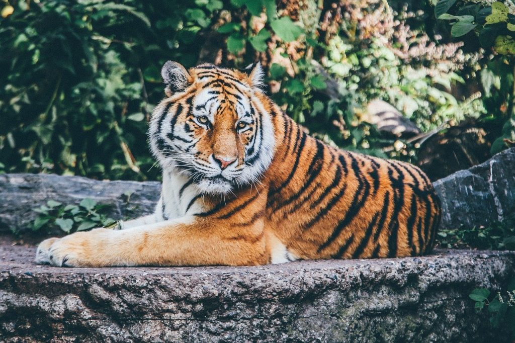 I saw a tiger in dream, what does it mean