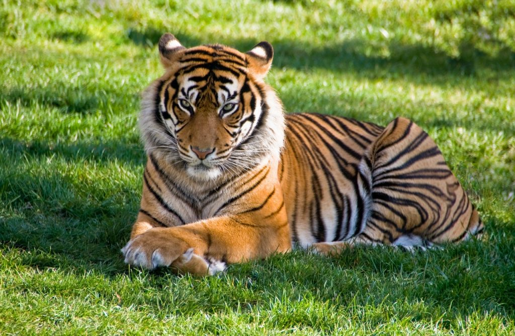 Meaning and symbolizm of a tiger in dream