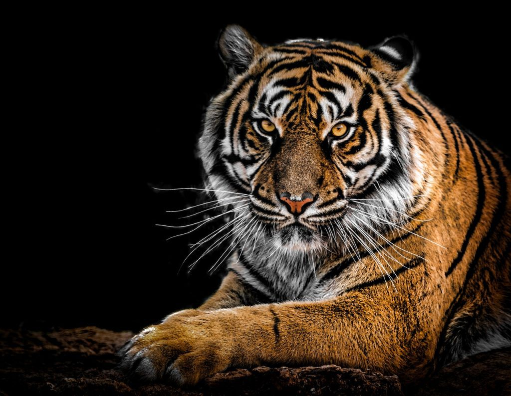 Tiger Dream Meaning and Interpretations