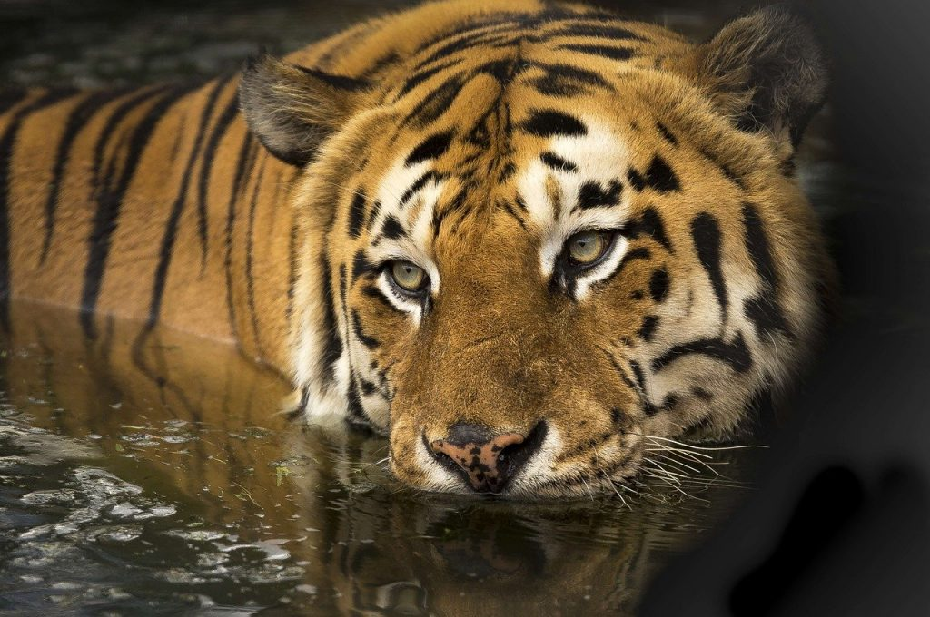 What a tiger symbolizes in the dream