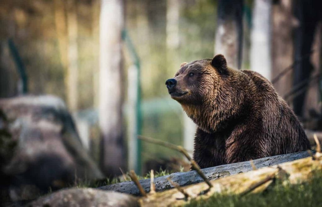 Bear Dream Symbol Meaning | Regular Dream