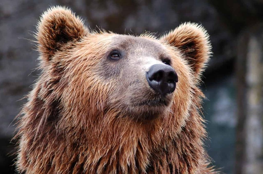 Black Bear – Dream Meaning and Symbolism
