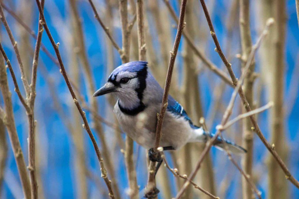 Blue Jay – Spirit Animal, Symbolism and Meaning