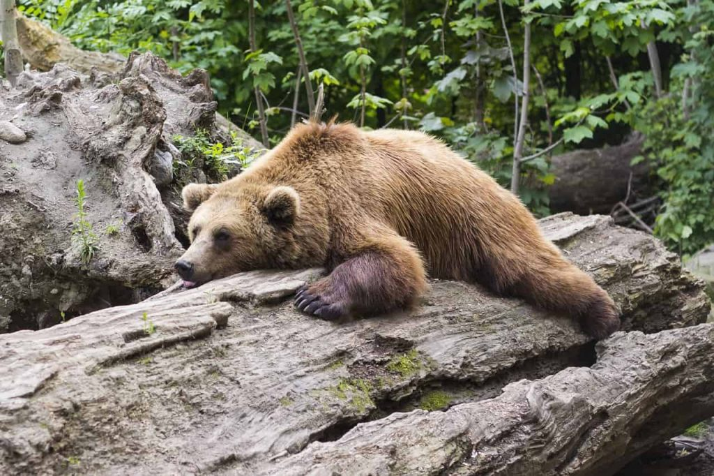 Brown Bear – Dream Meaning and Symbolism