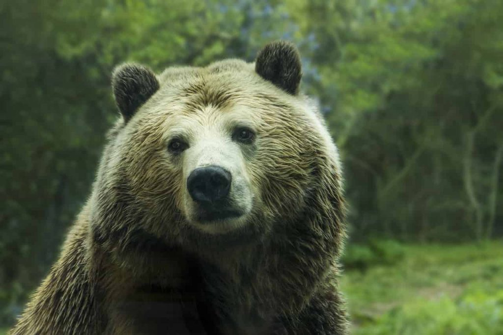 Brown Bear Dream Meaning and Symbolism
