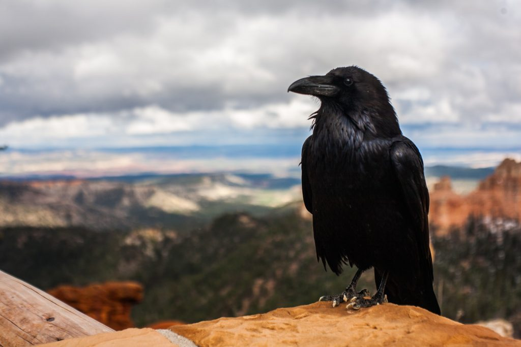 Crow Dream Meaning | Get Your Dream Interpretation Now!!!
