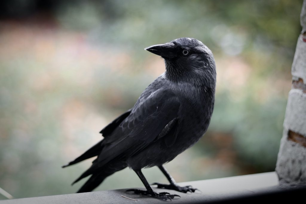 Crows dreams meaning - Interpretation and Meaning Dream Dictionary