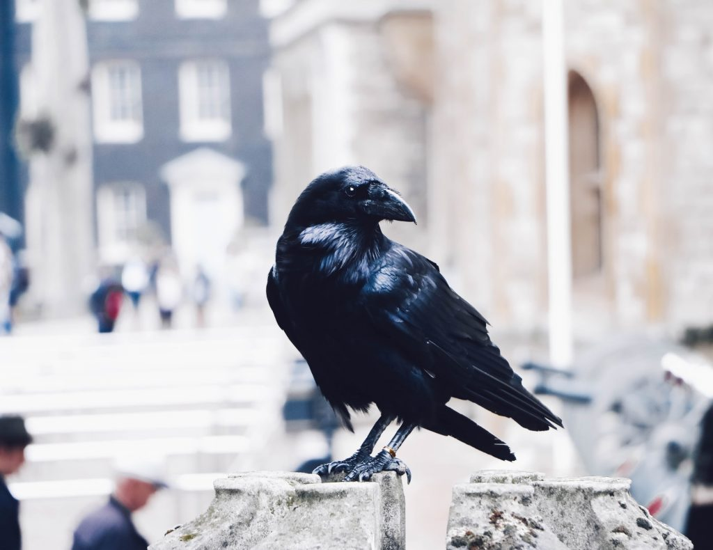 Dreams About Crows Meaning and Interpretation