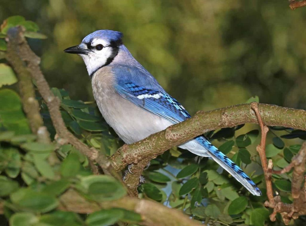 Seeing a blue jay in dream meaning
