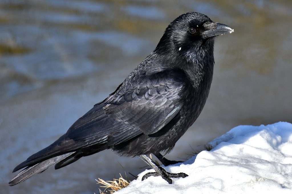 Seeing crow in dream, crow dream meaning