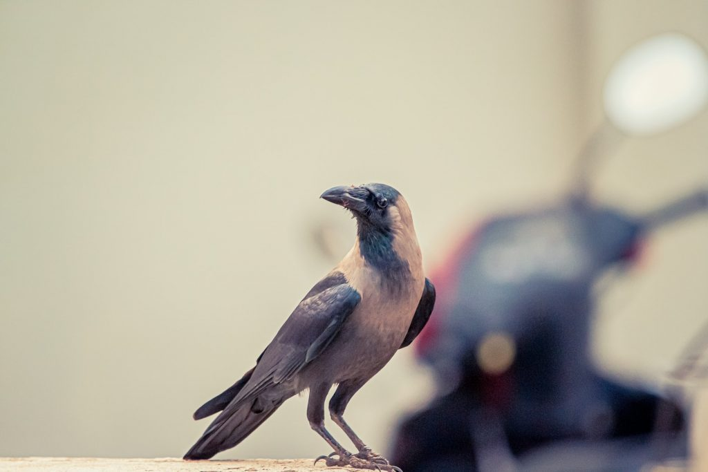 The meaning and symbolism of the word - «Crow»