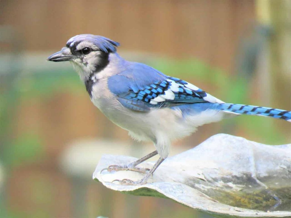 What Does It Mean When You See A Blue Jay? - Regular Dream