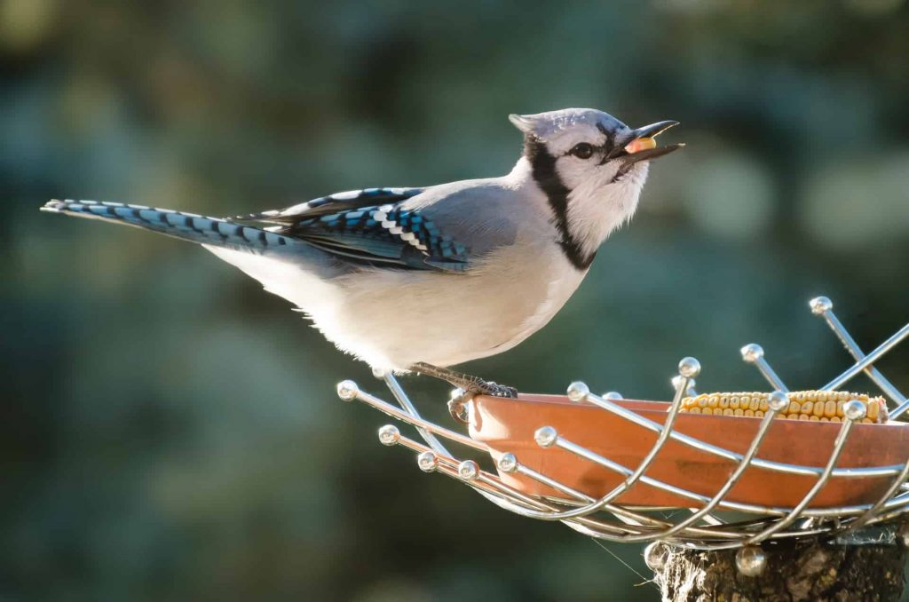 What Does Seeing A Blue Jay Mean In Your Dreams?   Regular Dream