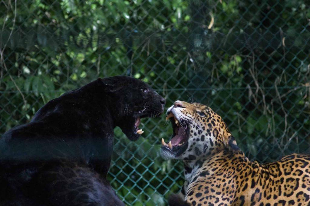 Black Panther – Spirit Animal, Symbolism and Meaning