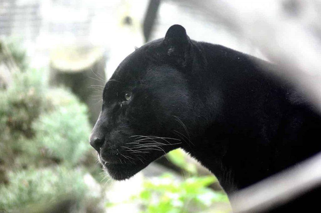 Black Panther Symbolism & Meaning | Regular Dream