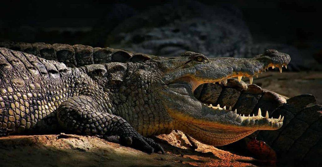 Dreams About Alligators or Crocodiles 5 Spiritual Meanings | Regular Dream