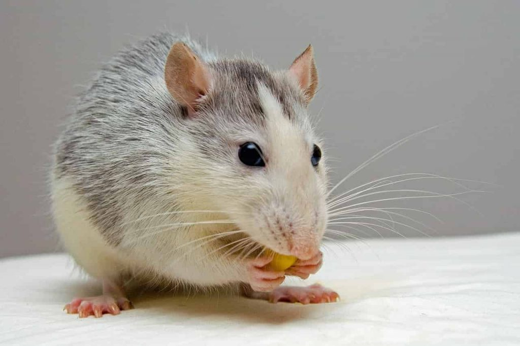 Dreams About Rats Dream Meanings Explained | Regular Dream