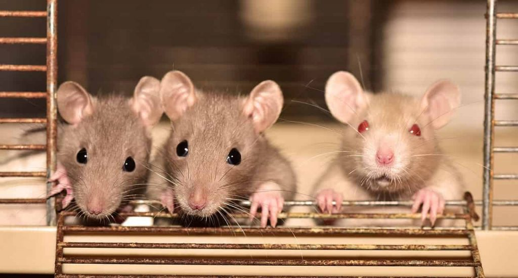 Dreams about Rats – Interpretation and Meaning