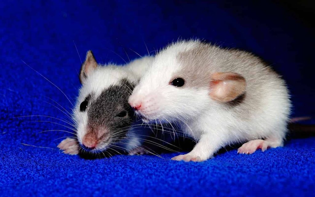Dreams about rats – what do they mean? (dream interpretation, rats, mice) - Regular Dream