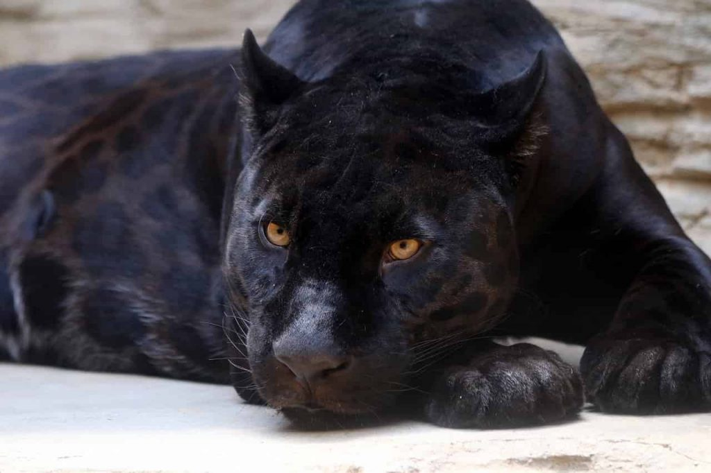 Interpretation of a dream in which you saw «Panther»