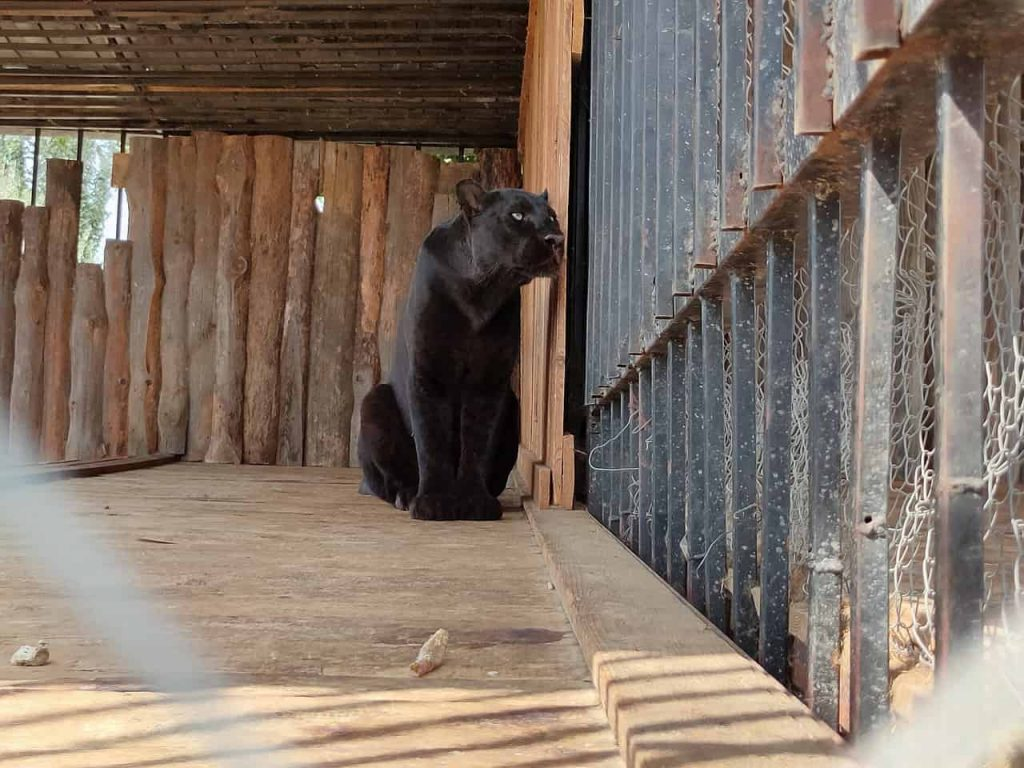 Panther Dream Meaning | Get Your Dream Interpretation Now!!!