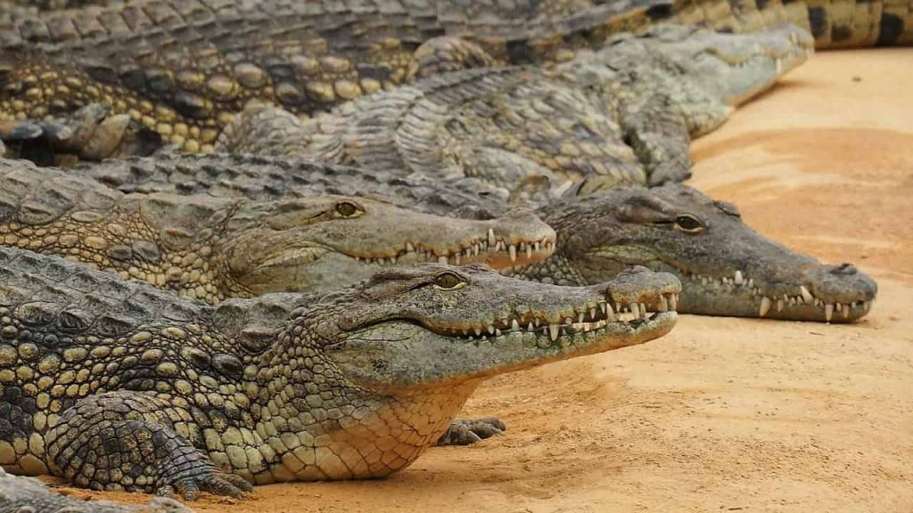 What Do Crocodile Dreams Mean? - What Is My Spirit Animal | Spirit, Totem, & Power Animals