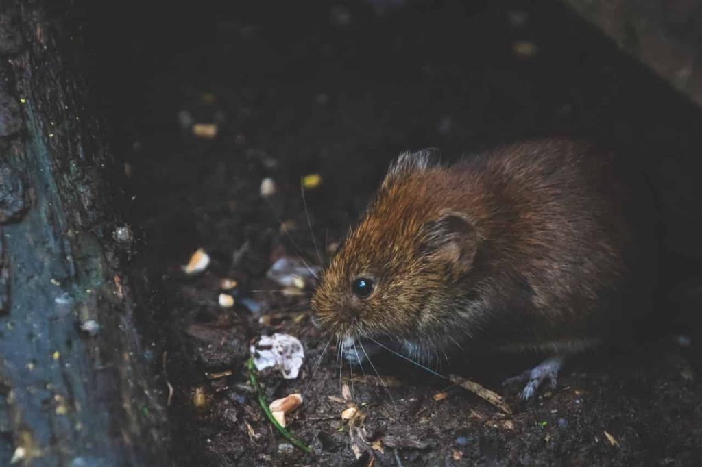 What Is The Meaning Of Rats In A Dream? — Regular Dream