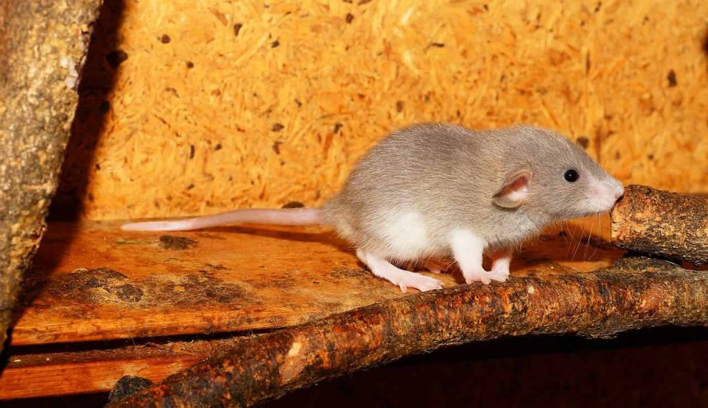 What do dreaming about rat means