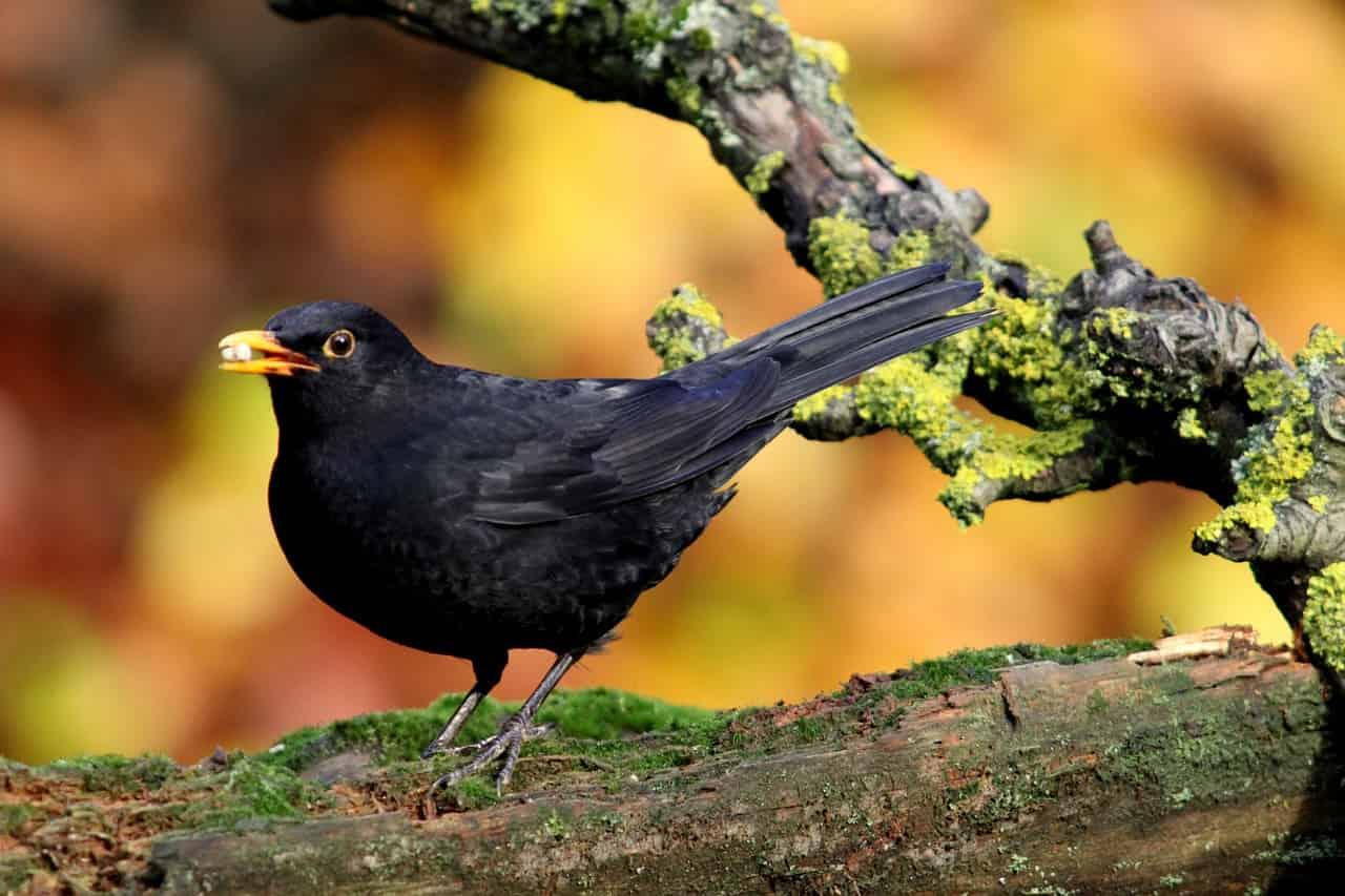 Blackbird Dream Symbol and Interpretations - Regular dream