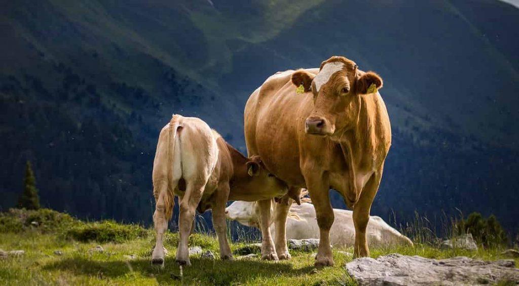 Cow & Bull Dream Symbols and Meanings   Animal Regular Dream