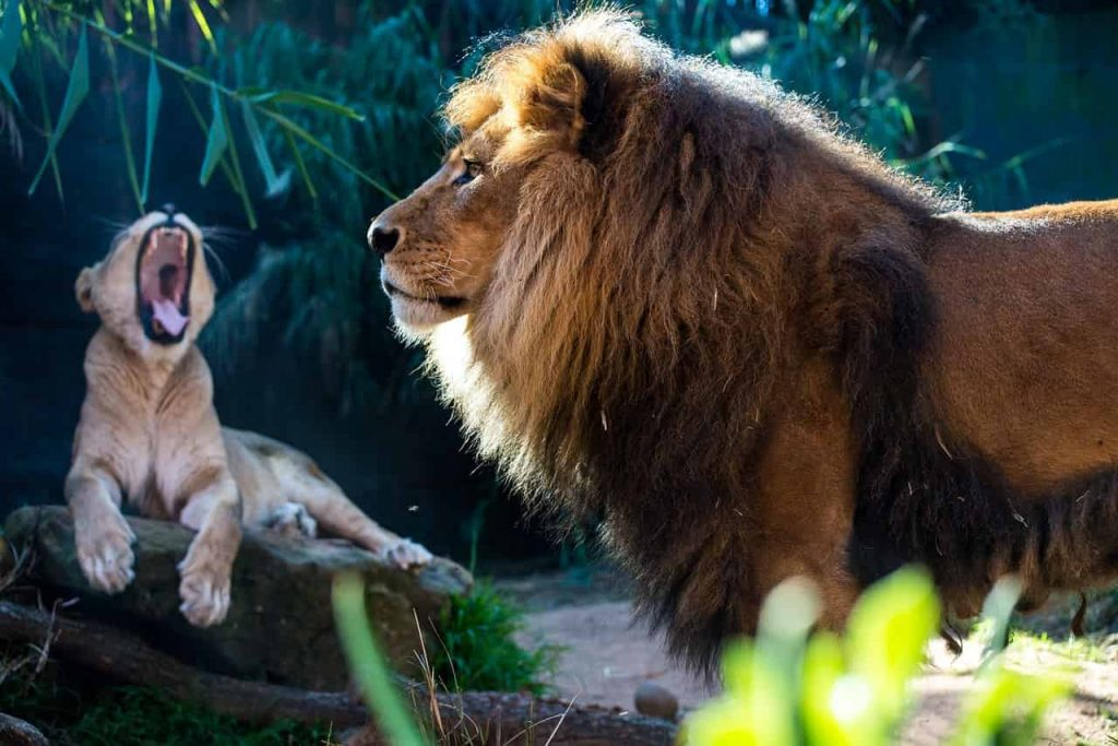 Dream Meaning of Lion - Dream Interpretation