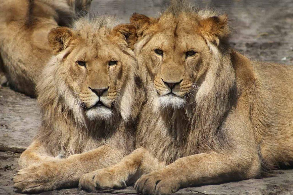 Lion Dream Interpretation - Best Dream Meaning Analysis & Answer
