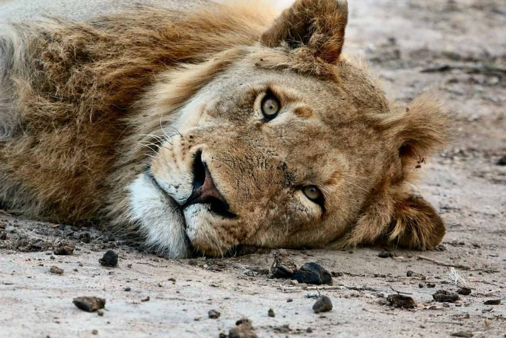 Lion in Dream- Meaning and Interpretation