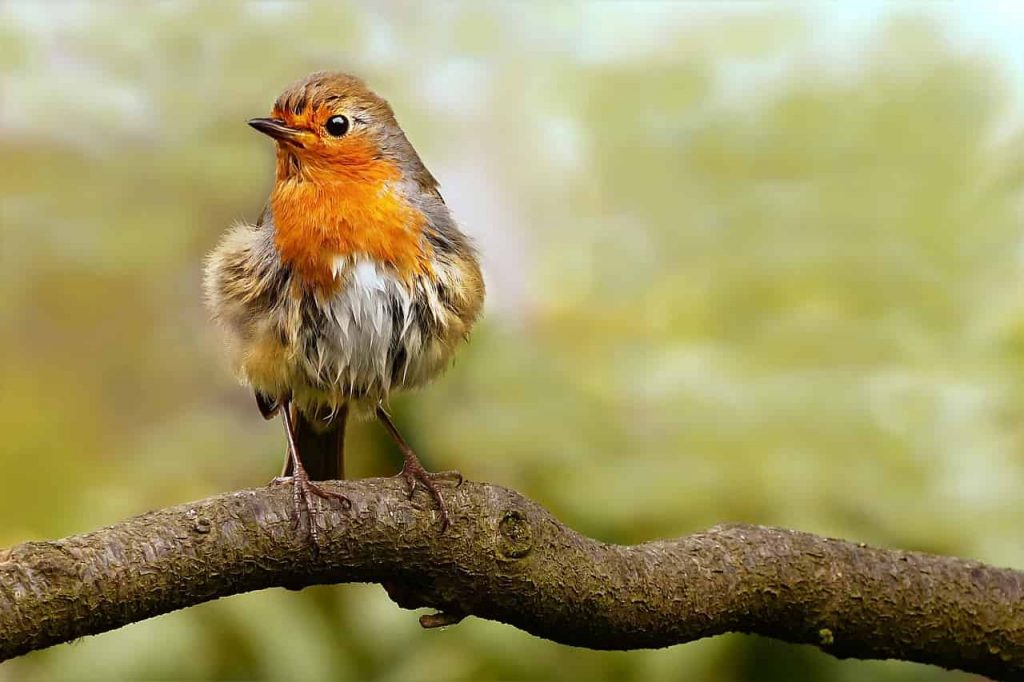 Robin Symbolism, Dreams, and Messages | Spirit Animal Totems