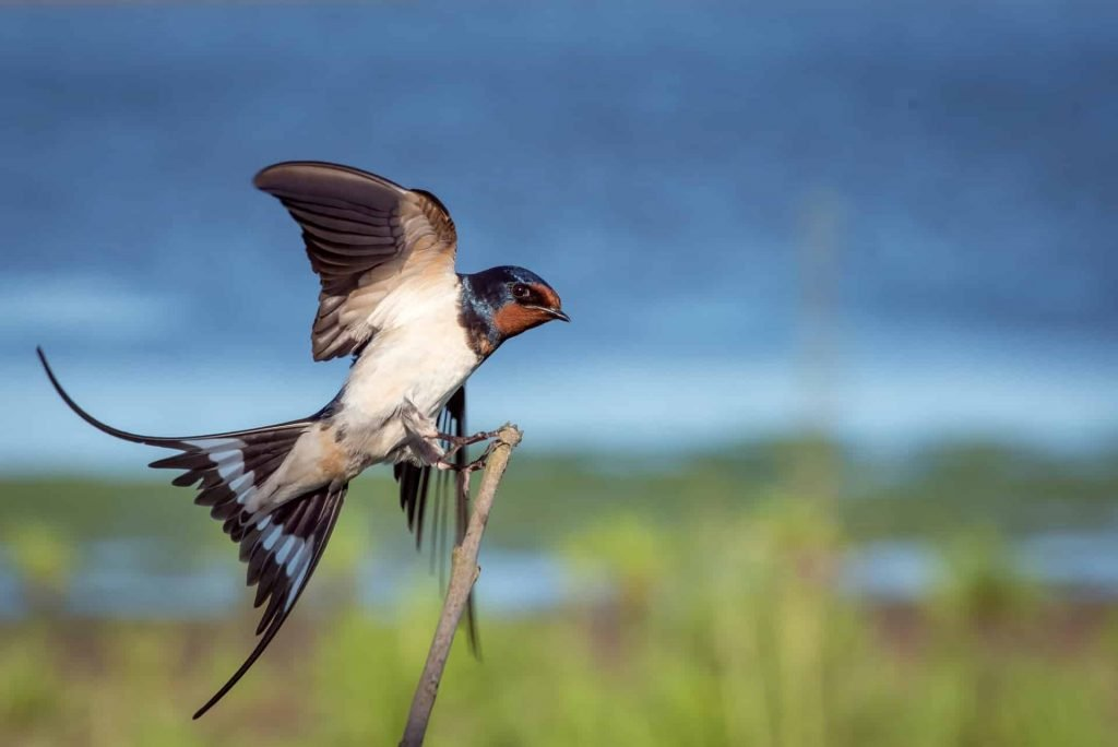 Swallow Bird - Spiritual Meaning and Symbolism - Sign Meaning