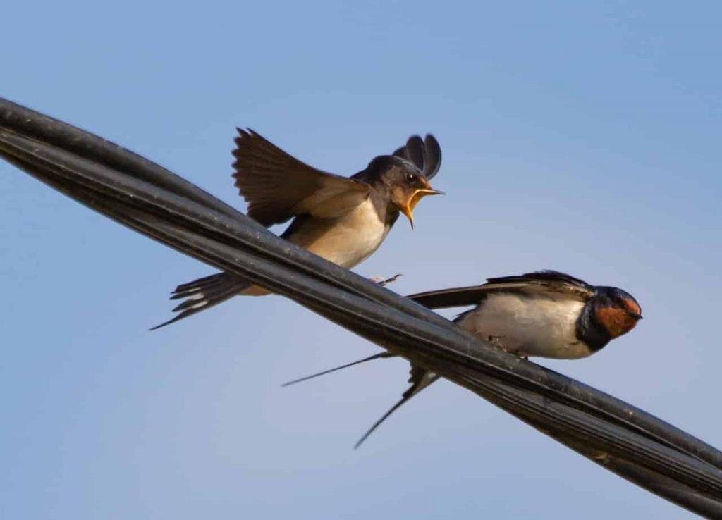 Swallow Symbolism - Spirit, Power Totem Animal Messenger - Swallow