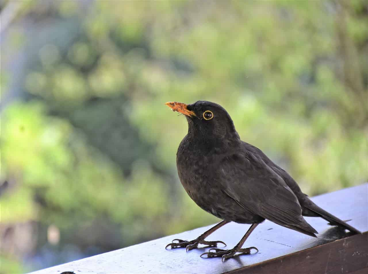 Symbolic Meaning of Black Birds on Whats-Your-Sign
