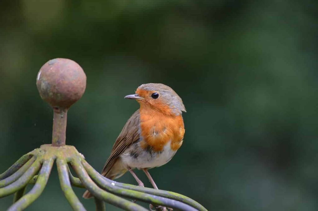 The meaning and symbolism of the word - «Robin»