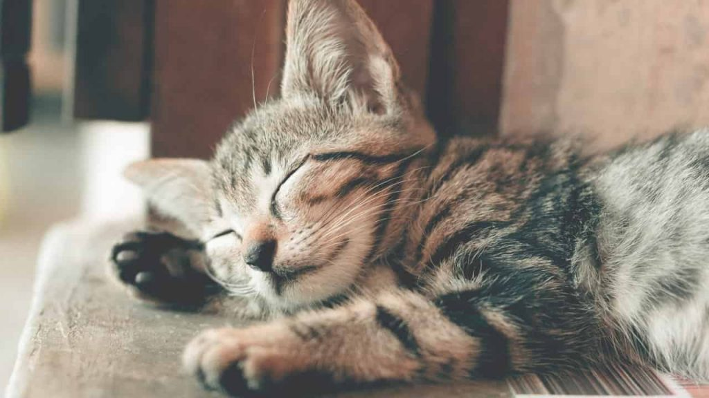 What Do Cat Dreams Mean? 11 Dreams About Cats, Explained