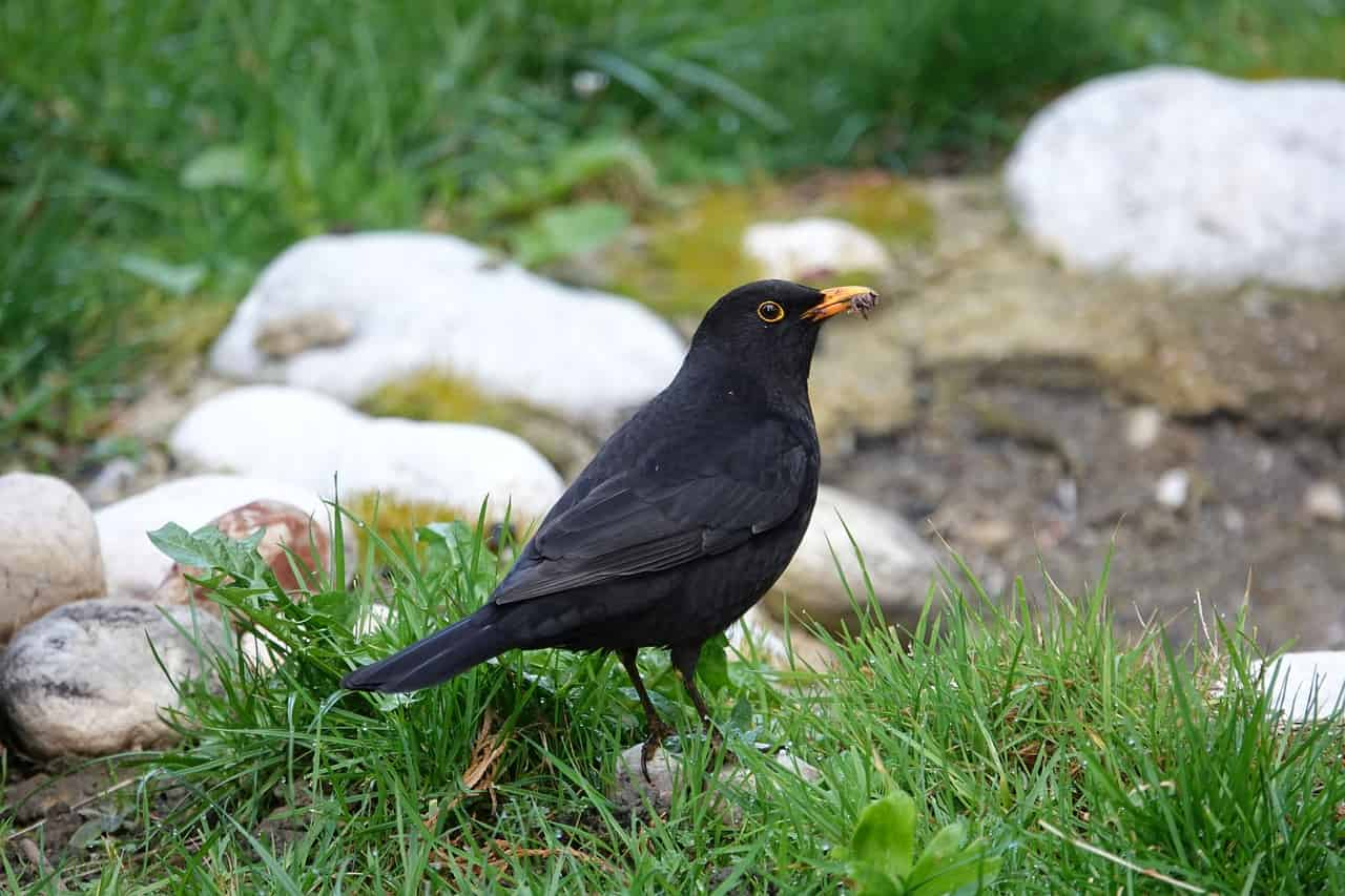 What dream about blackbird means