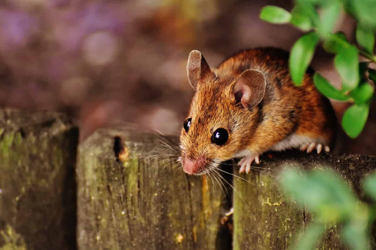 Dreaming Of Mice Or Mouse - Meaning And Interpertation - Regular Dream