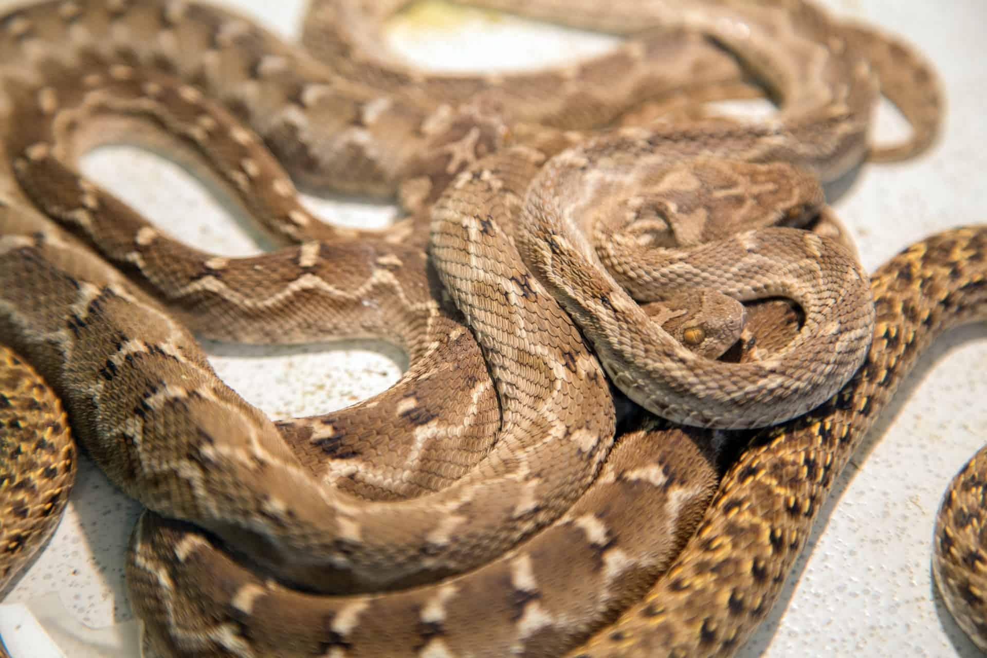 Dreaming Of Rattlesnake | Rattlesnake Tail | Snake Meaning